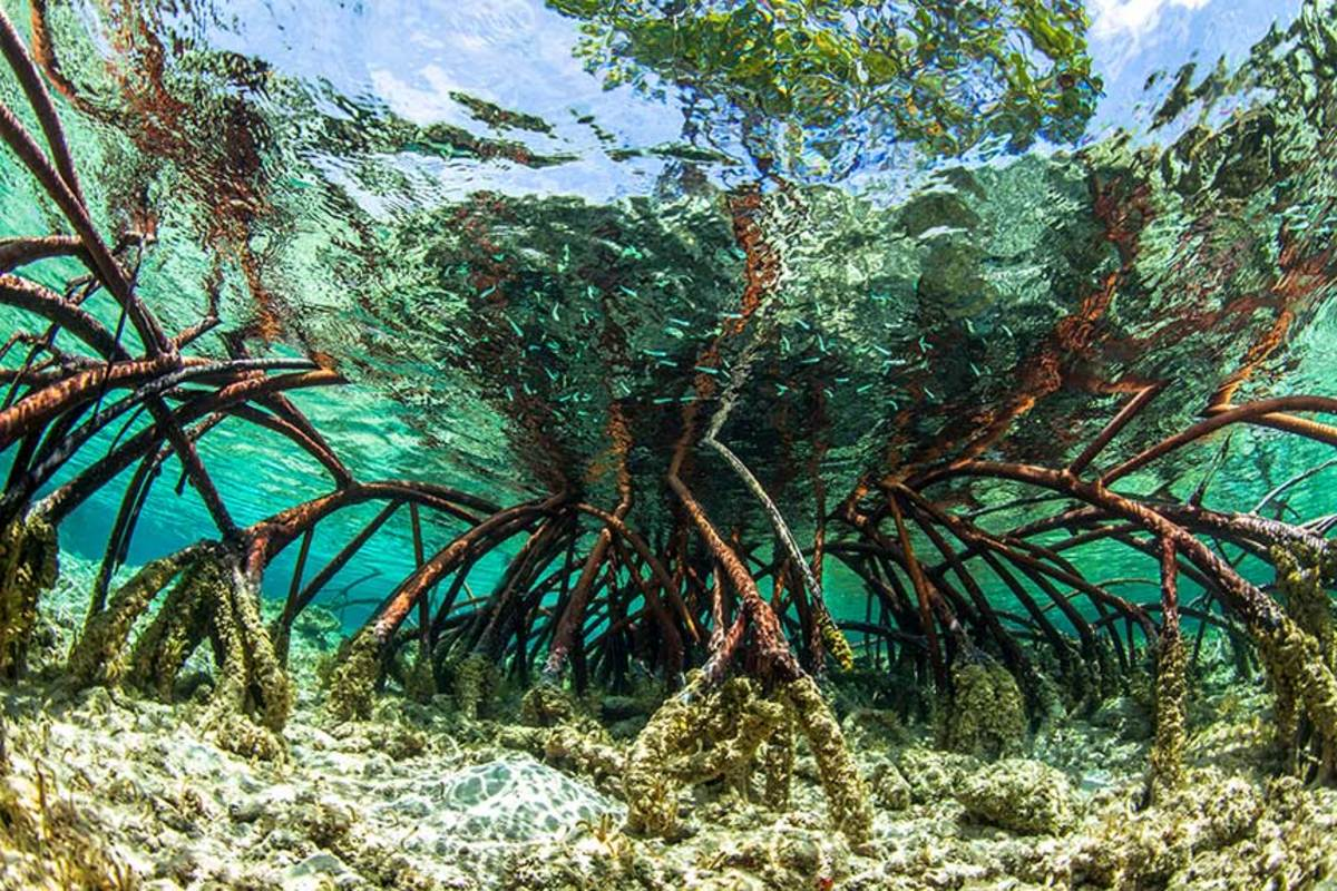 Red mangroves and roots in the Exuma Cays Land and Sea Park, Bahamas.
