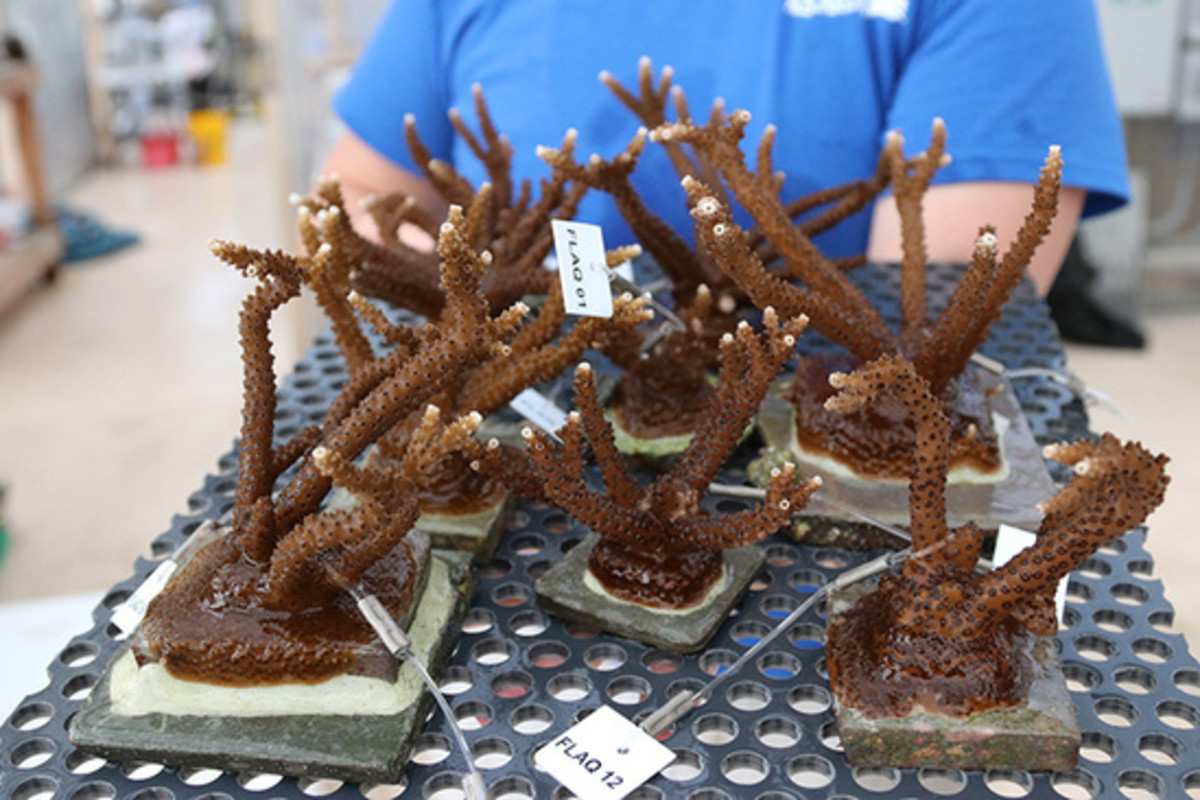 Corals grown for outplanting in the Florida Keys. (Photo: The Florida Aquarium)