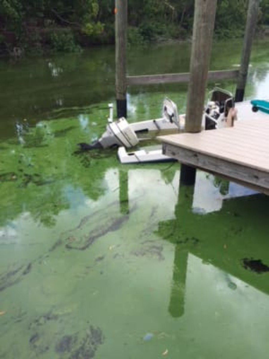 Green algae in Gulf of Mexico canals.