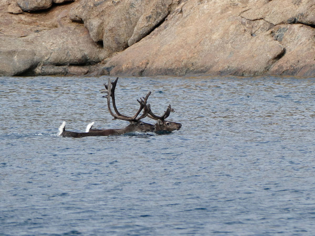 Caribou are relatively common, but seeing them swim is a rare treat.
