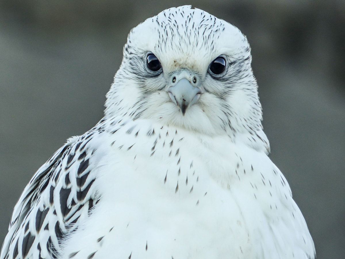 This Gyrfalcon is hardly camera shy.
